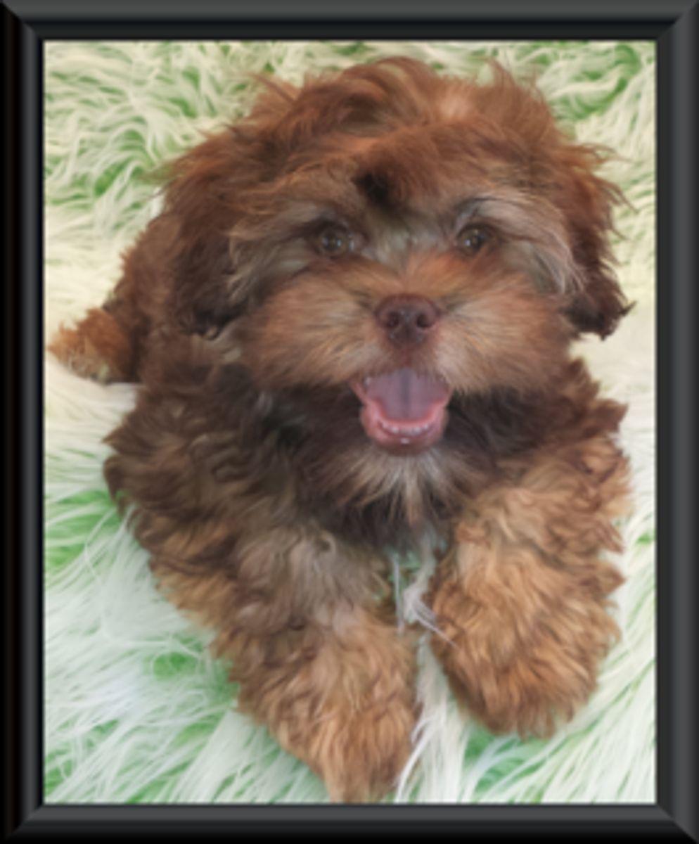 Teddy Bear Zuchon Puppies Shichon Shih Tzu Bichon Rare Colours In
