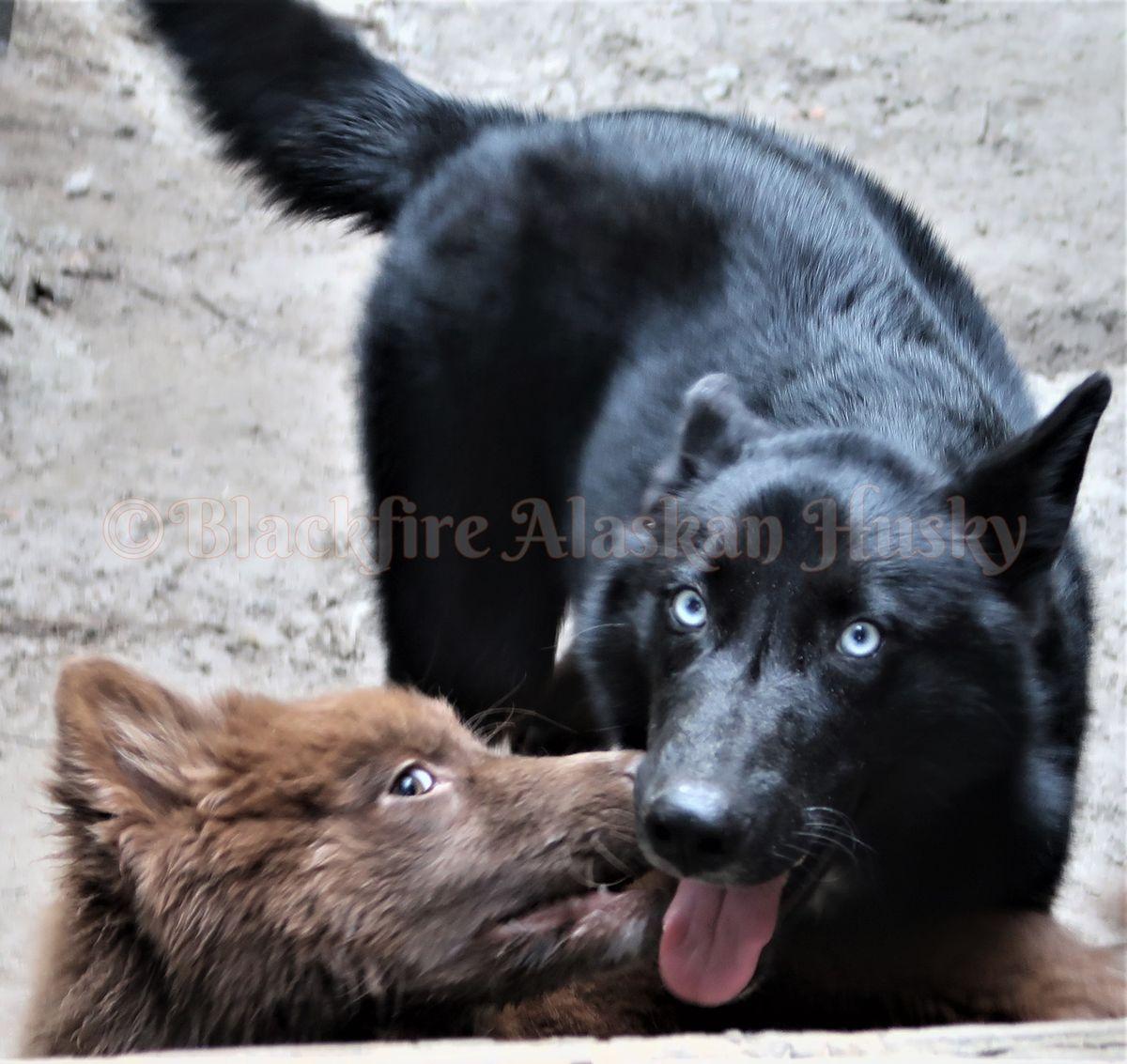 😍wolfdog Black Blue Eyed😍 (blackfire Kennel-blackfire Alaskan