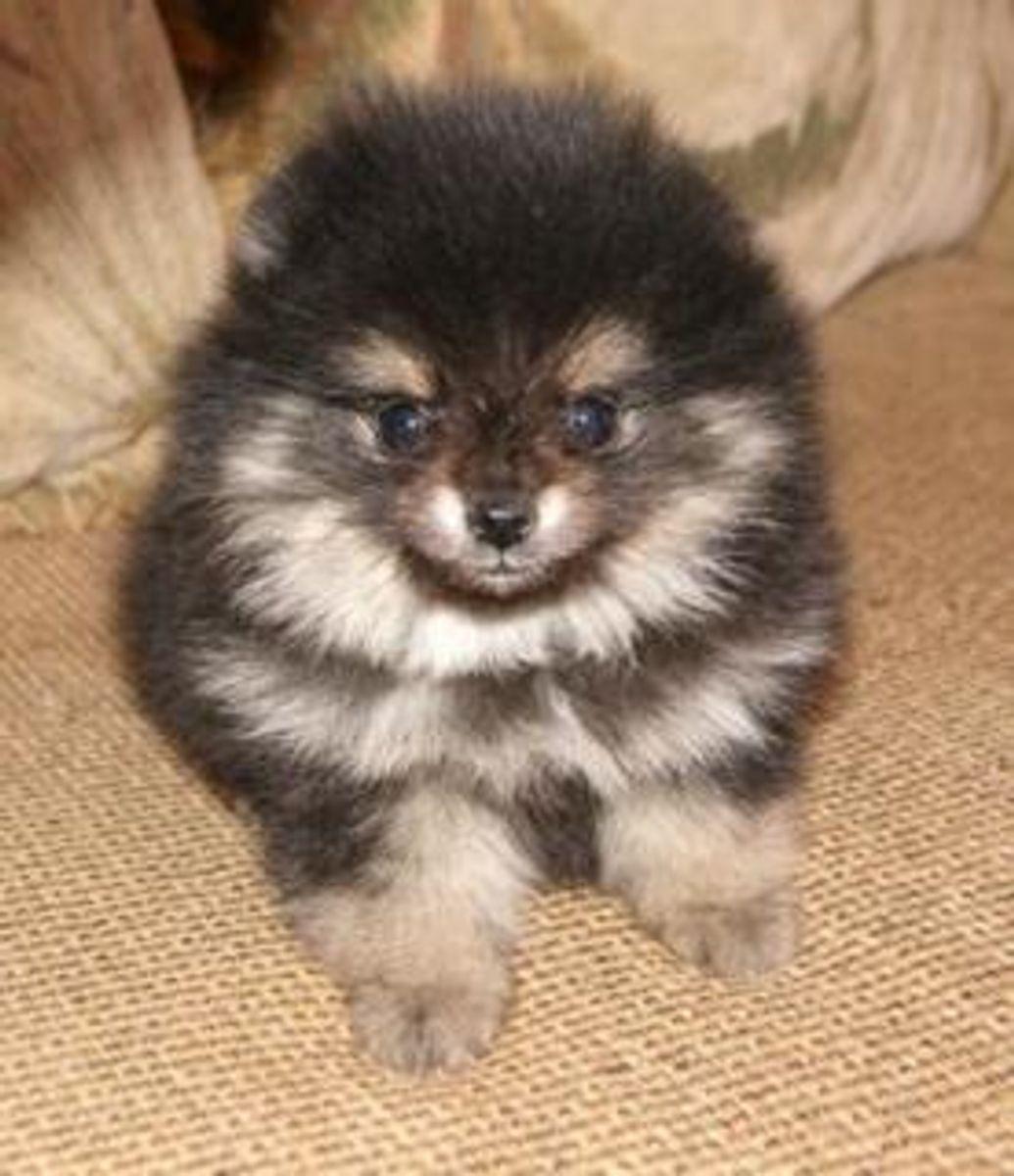 Akc Teddy Bear Pomeranian Puppies In Hoobly Classifieds