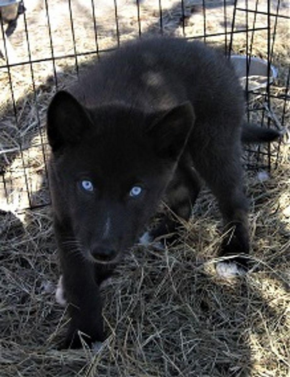 Wolfdog Black Blue Eyed😍 Blackfire Kennel Blackfire
